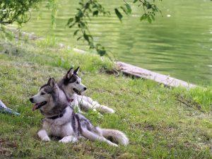 Caratteristiche husky