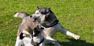 Guinzagli e Pettorine per Husky