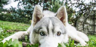 Giochi per Husky